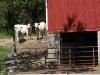 Mueller farm cattle- 2010
