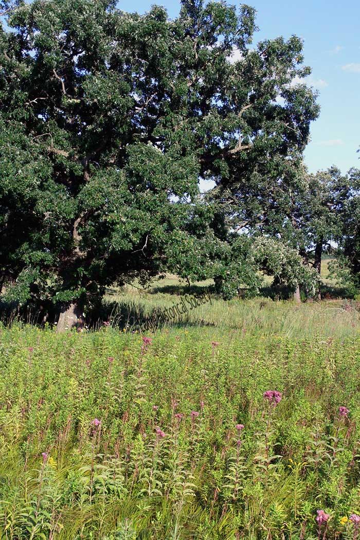 Burr Oaks on Restored Prairie