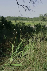 Remnants of Therese Steinhoff's garden-2009