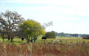 Image of cattle on the Royal Angus Farms II