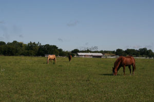 Horses grazing  on the Southwind ranch
